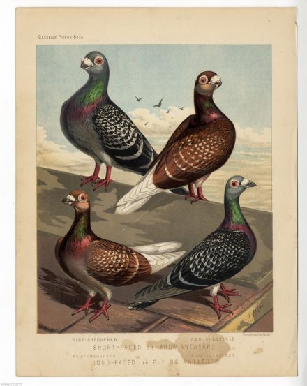 1875 c Antique Colour PIGEONS by J. W. Ludlow SHORT AND LONG FACED ANTWERPS